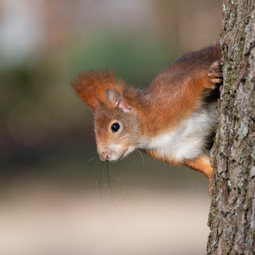 Red squirrel punk