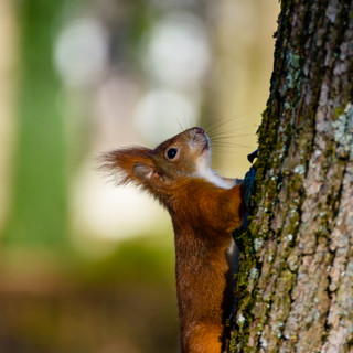 Red squirrel looking up