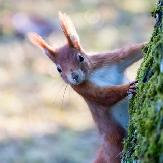 Hello Red Squirrel!