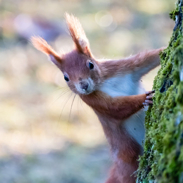 Hello Red Squirrel!