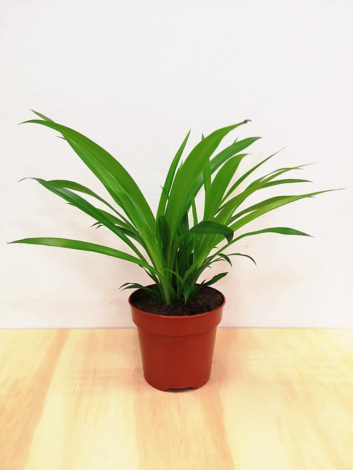 """Chlorophytum Lemon - """"Lemon Spider Plant"""""""