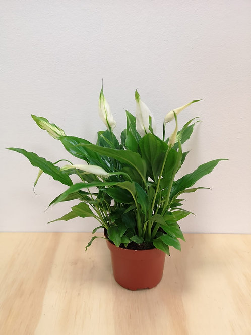 """Peace Lily - Spathiphyllum """"Chopin"""""""