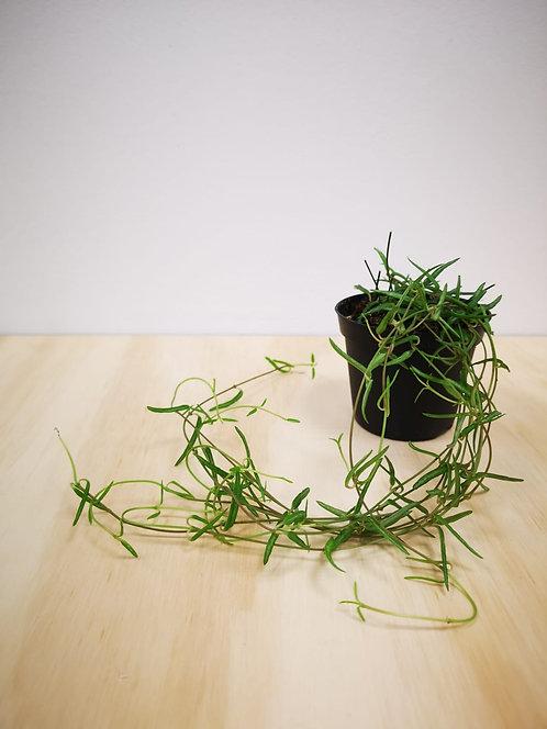 "Ceropegia Linearis - ""String of Needles"""