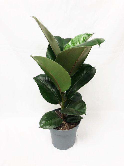 Ficus Elastica - Rubber Plant