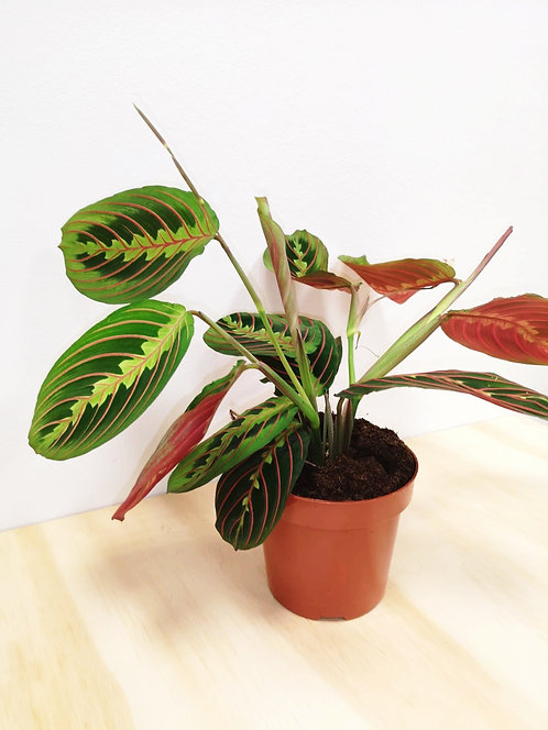 "Prayer Plant - Maranta ""Fascinator"""