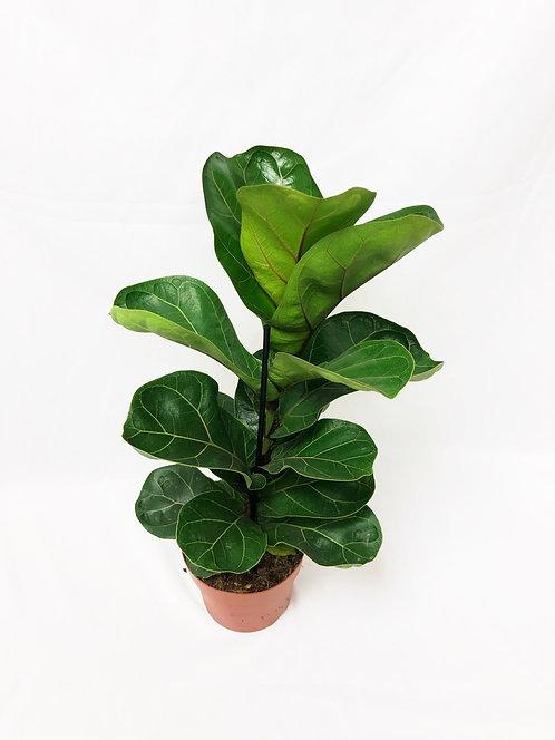 Ficus Lyrata Bambino - Fiddle Leaf Fig