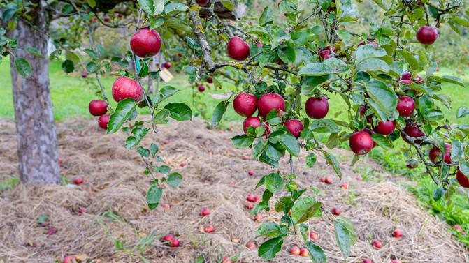 10-Oktober-Der_Apfel_fällt_nicht_hart_v