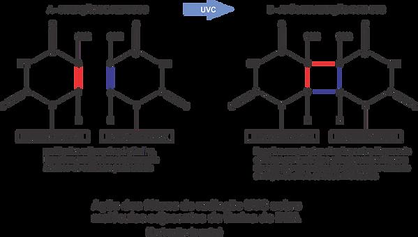 201016-Molécula_de_timina.png