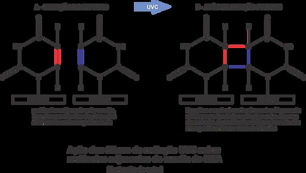 201019-Molécula_de_uracila.png