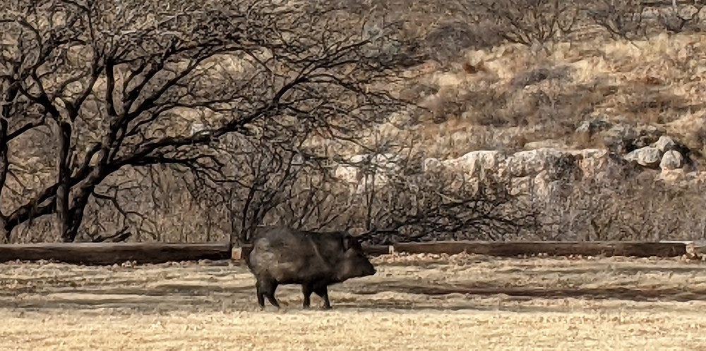 A javelina (wild board) in the shade of a tree, with mesquite trees and a rocky bluff behind.
