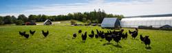 DSC_9400-GSF-chicken-1200