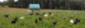Organic-chicken-Good-Spring-Farm-2-588x1