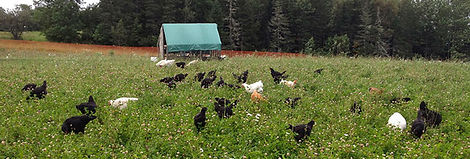 Organic-chicken-Good-Spring-Farm-2-588x1