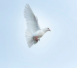 white-feather-homing-pigeon-bird-flying-