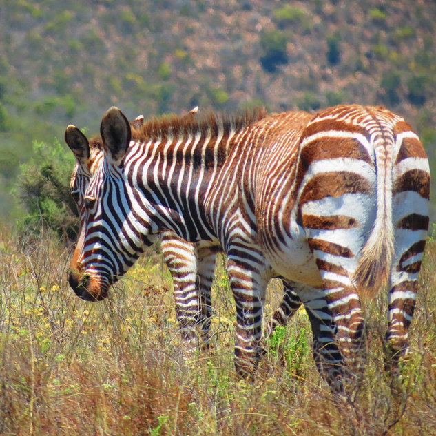 zebra doble.jpg