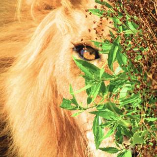 mirada de leon.jpg