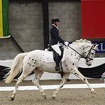 Holmegards Bastian Knabstrupper Stallion UK