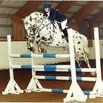 Fintel Knabstrupper Stallion UK