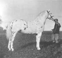 Silverking Knabstrupper Stallion