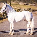 Thore vom Pferdehof Knabstrupper Stallion UK