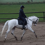 Norgaards Jason Knabstrupper stallion UK