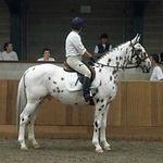 Blacklaw Xcalibur Knabstrupper Stallion UK