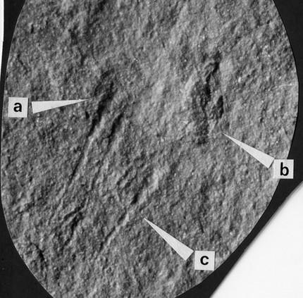 Invertebraten - Conchostraken: Lioestheria monticula - Abdruck der paarigen Antennen
