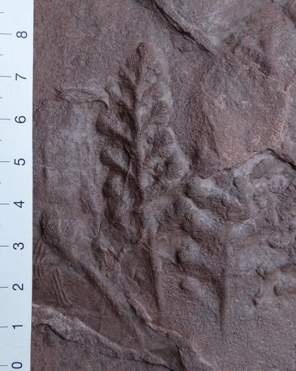 Pflanzen - Pteridospermen (Samenpflanzen): Arnhardtia sp. ?