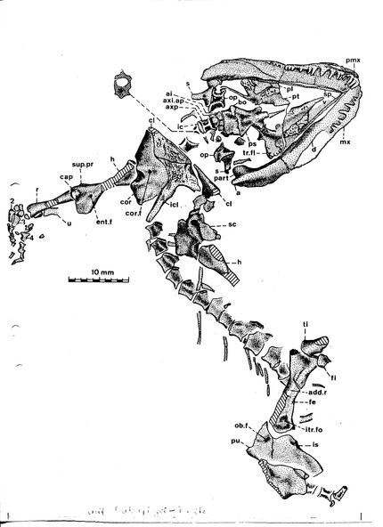 Vertebraten - Ursaurier: Captorhinomorpha - Protorothyrididae: Thuringothyris mahlendorffae
