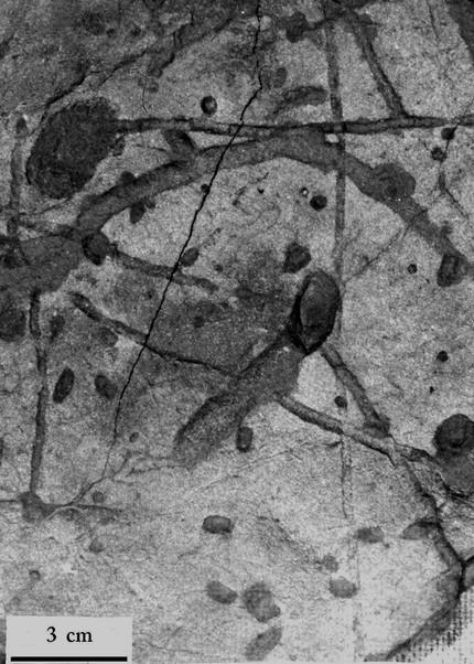 Invertebratenspuren: Scoyenia gracilis