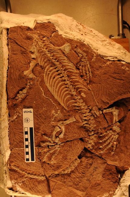 Vertebraten - Ursaurier: Synapsida - Caseasauria - Caseidae: in Bearbeitung