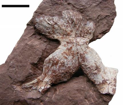 Vertebraten - Ursaurier: Erster Knochenfund in der Tambach-Formation: Sommer 1974