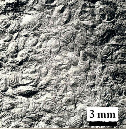 Invertebraten - Conchostraken: Lioestheria monticula - Massenvorkommen auf Schichtfläche - fossile P