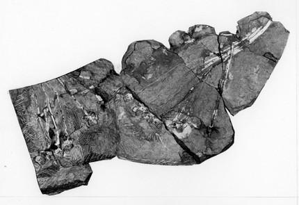 Vertebraten - Ursaurier: Synapsida - Eupelycosauria - Sphenacodonidae: Dimetrodon teutonis