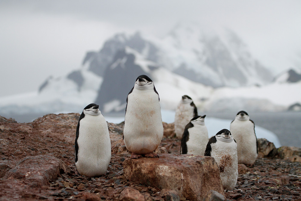 Chinstrap penguins in the Antarctic