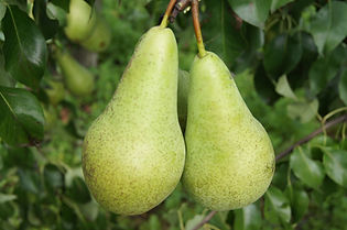 Conference Pear.jpg