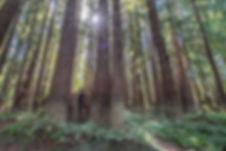 Mendocino Woodlands Trees.jpg