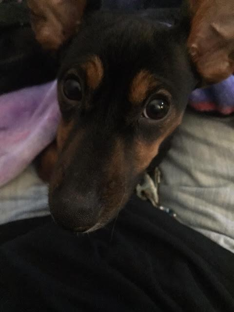 Lucy the Chiweenie!