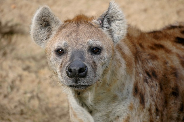 Spotted Hyena in Africa