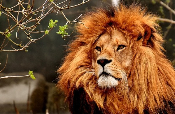 Lion King Biodiversity