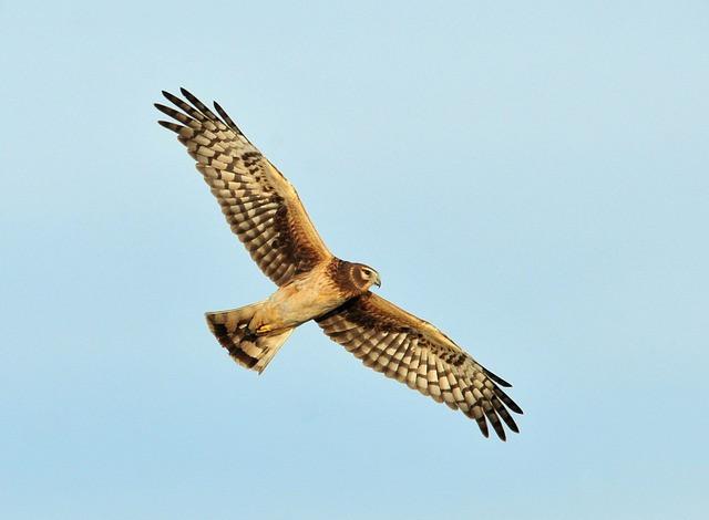 The endangered Hen Harrier