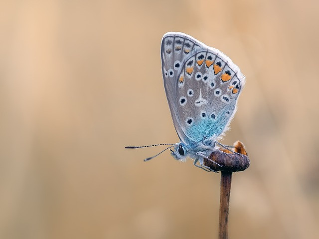 Common Blue in a field