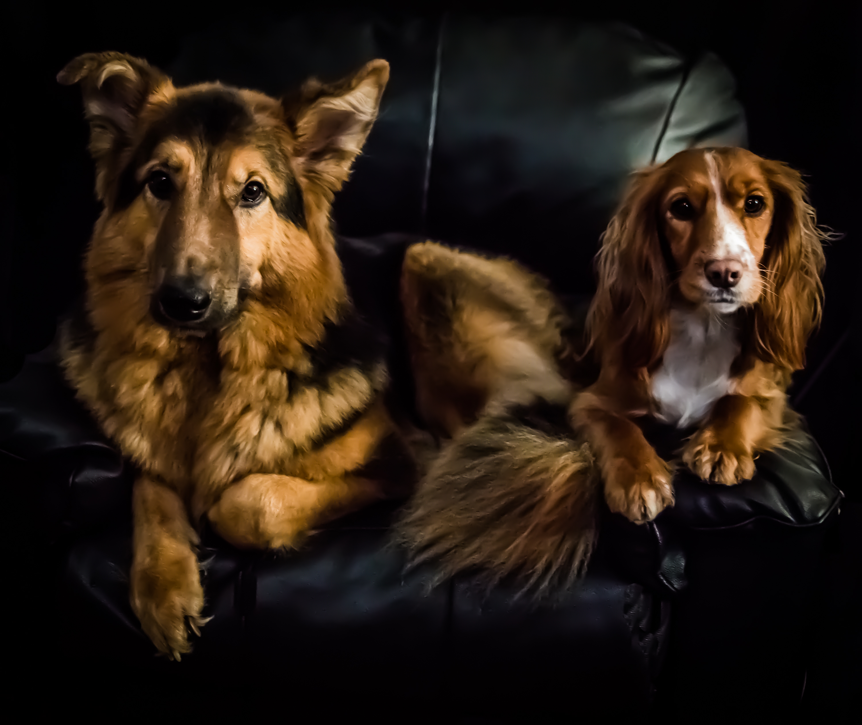 German Shepherd and Cocker Spaniel