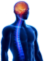 Nervous-system_Large-cutout.png