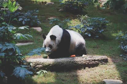 Hong Kong - Panda Away