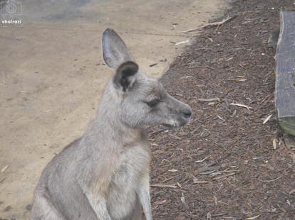 Australia - Kangaroo up close