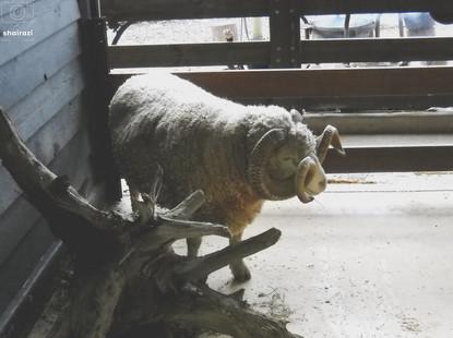 Australia - Ram horns