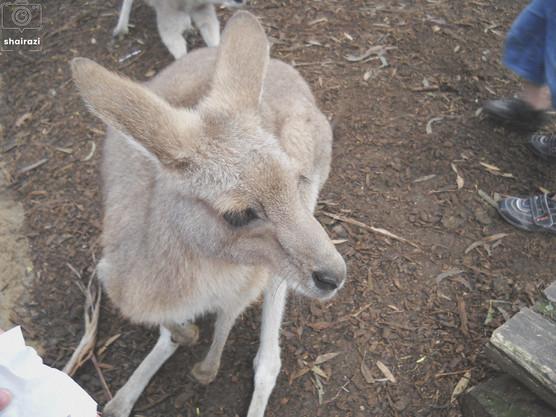 Australia - Kangaroo away