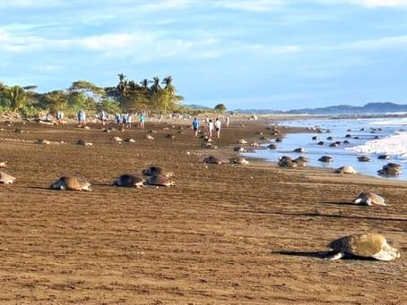 Tag 7 - Hunderte von Meeresschildkröten am Playa Ostional