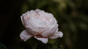 Beautiful rose quiet nature